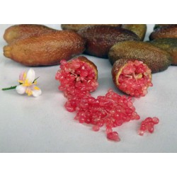 Microcitrus Australasica Varietät Ricks Red