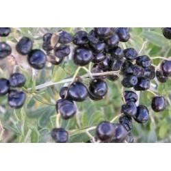 Black Goji (Plant)