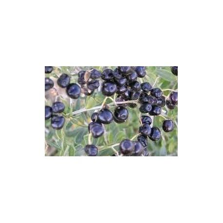 Schwarze Goji (Pflanze)