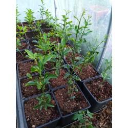 Microcitrus Australasica variété Green Alstonville