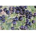 Lycium Ruthenicum - Black Goji